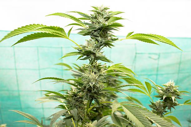 Urban Medical Marijuana stock photo