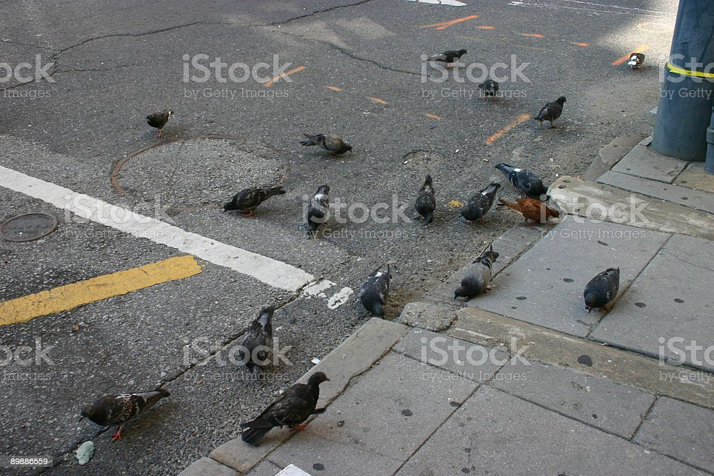 Urban Pigeons royalty free stockfoto