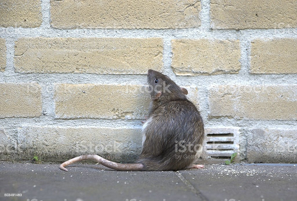 Urban rat stock photo