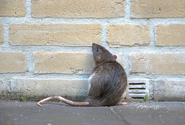Urban rat A rat  against a brick wall, looking and standing up. The picture shows a real rat, not a mouse, like most pictures do. pest stock pictures, royalty-free photos & images