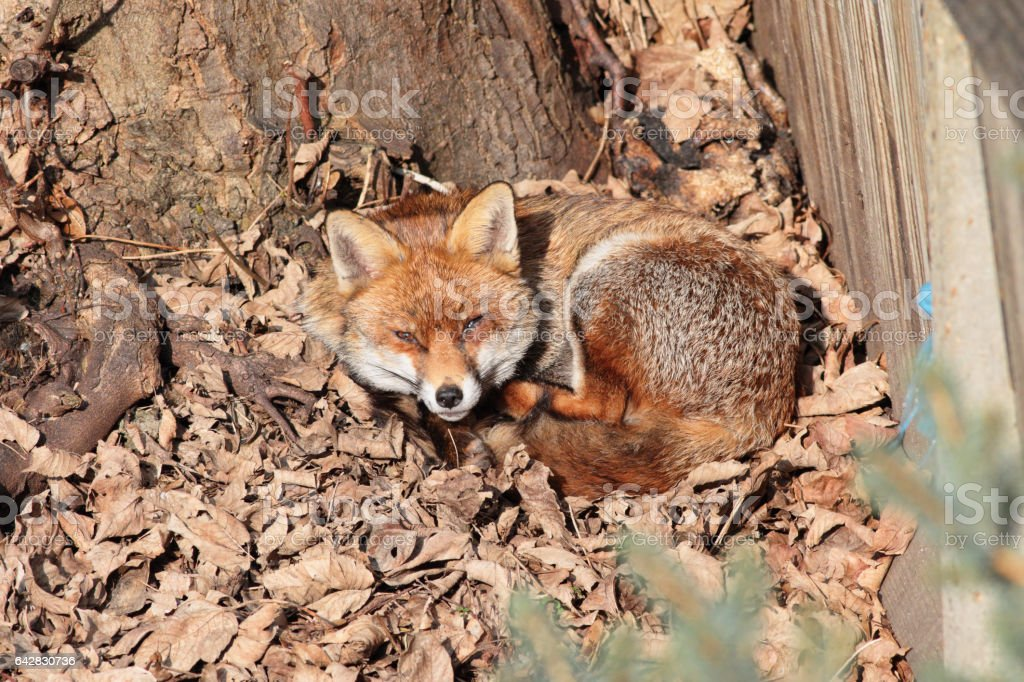 Urban red fox lying in bed of dead winter leaves stock photo