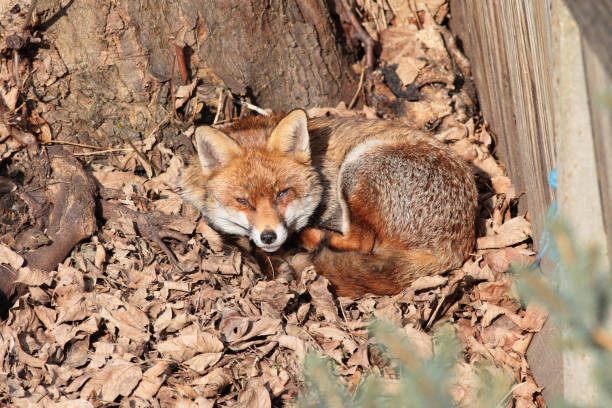 urban red fox lying in bed of dead winter leaves - whiteway fox stock photos and pictures