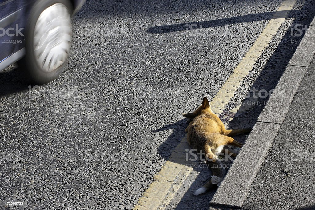 Urban red fox roadkill in Merton England royalty-free stock photo