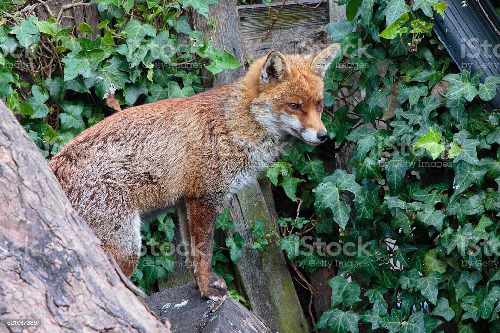 Urban red fox standing between urban gardens stock photo