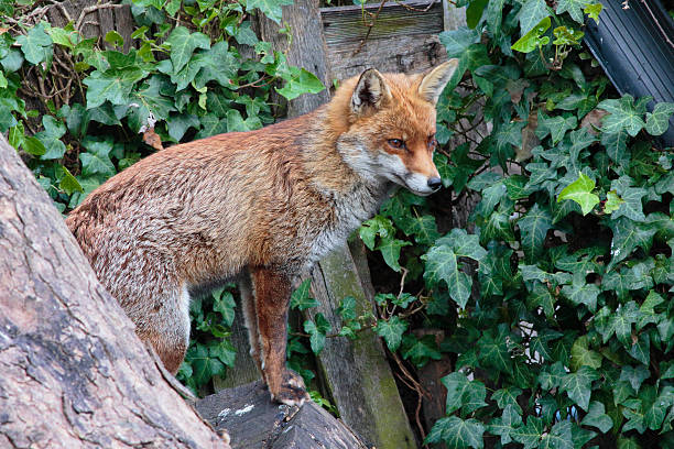 urban red fox standing between urban gardens - whiteway fox stock photos and pictures