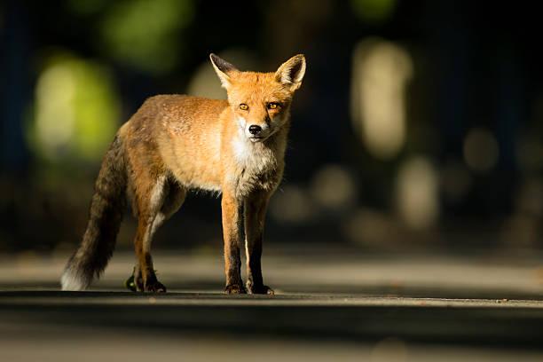 Urban Red fox - Vulpes vulpes