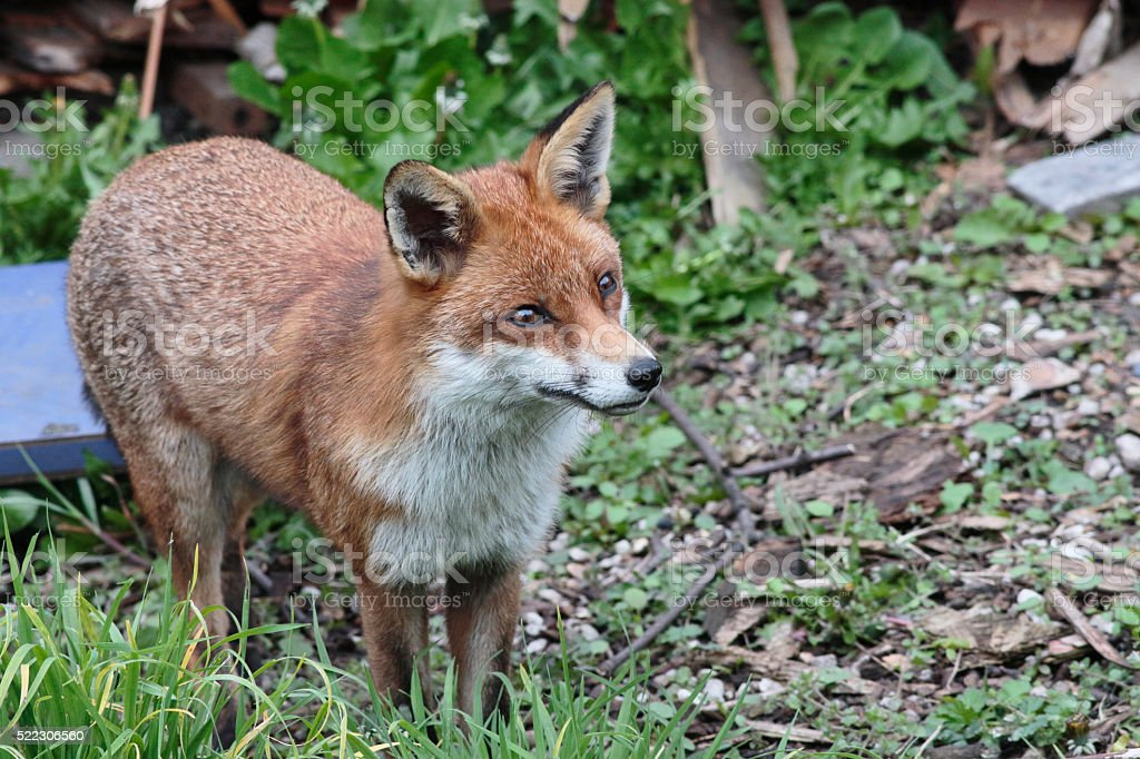 Urban red fox Vulpes vulpes standing in London garden stock photo