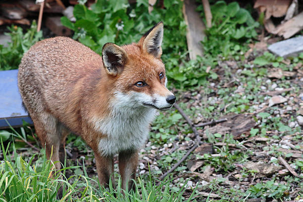urban red fox vulpes vulpes standing in london garden - whiteway fox stock photos and pictures