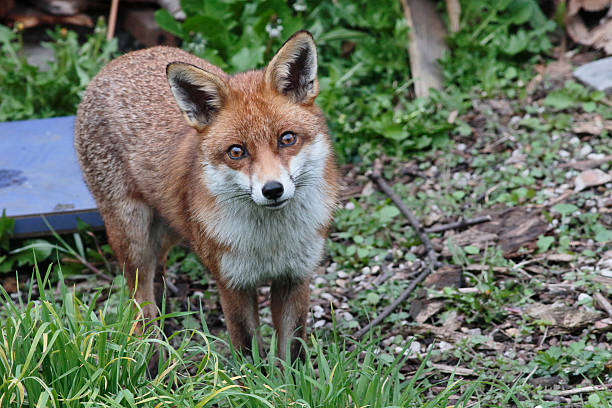 Wary urban red fox Vulpes vulpes standing in London garden stock photo