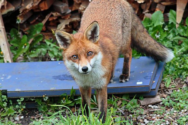 wary urban red fox vulpes vulpes standing in london garden - whiteway fox stock photos and pictures