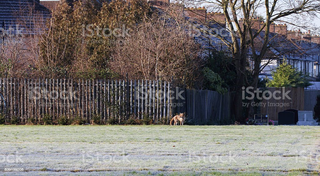 Winter urban red fox Vulpes vulpes in frosty field stock photo