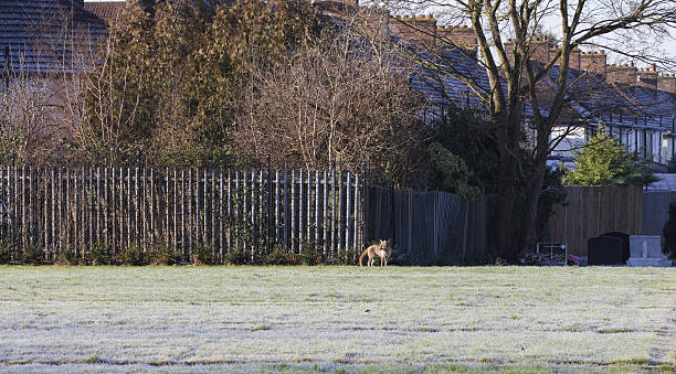 winter urban red fox vulpes vulpes in frosty field - whiteway fox stock photos and pictures