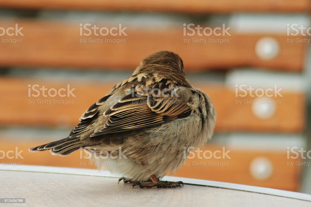 Urban sparrow stock photo