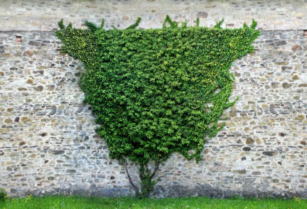 Urban Wall With Hedge stock photo