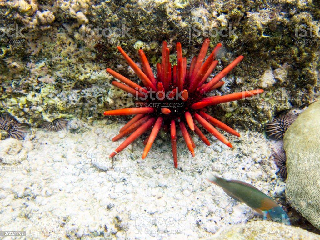 Urchin stock photo