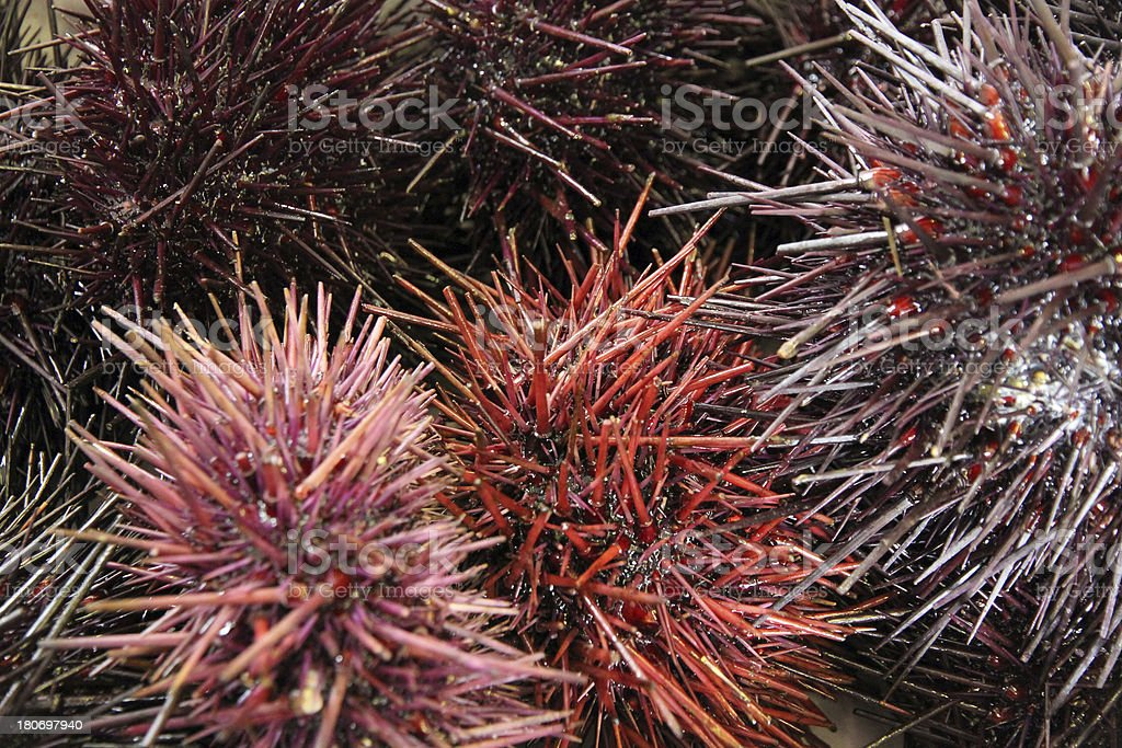 Urchins royalty-free stock photo