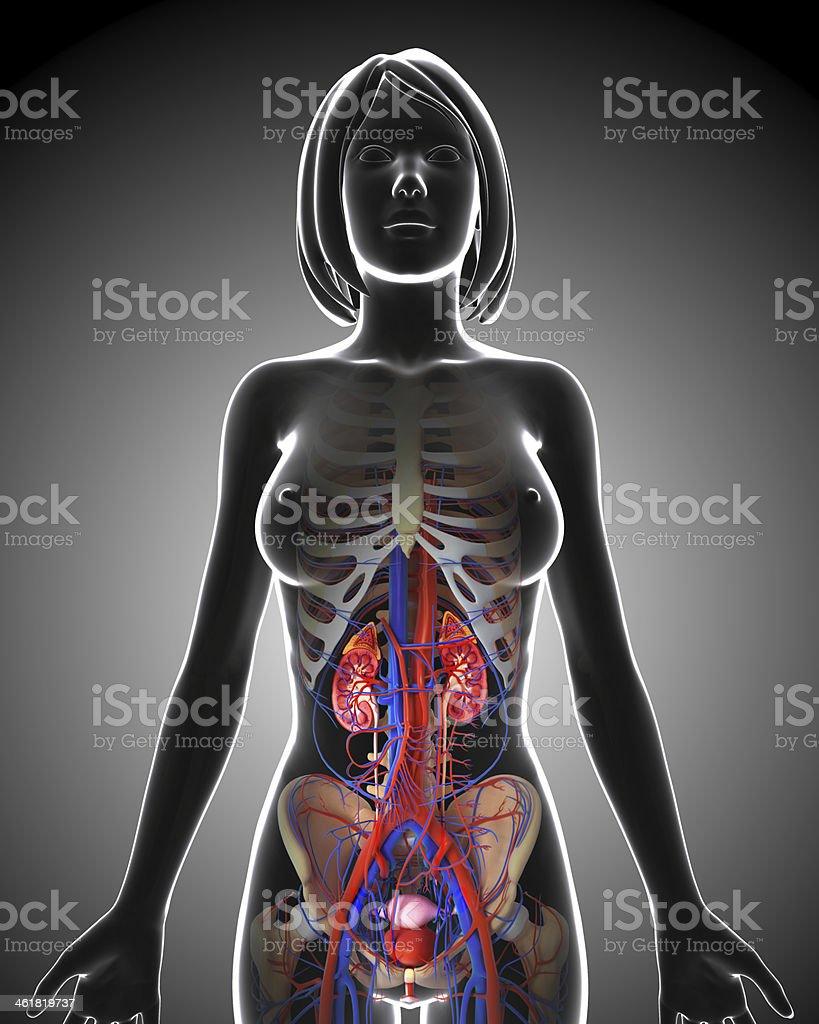 Fotografía de Sistema Urinario En Azul Forma De Conector Hembra y ...
