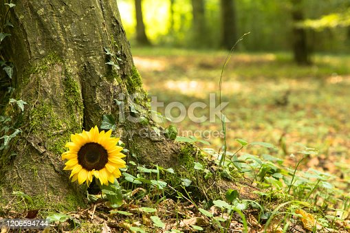 Sunflower on tree trunk in a forest cemetery, Germany