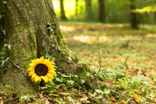 Urn grave with sunflower, forest cemetery stock photo
