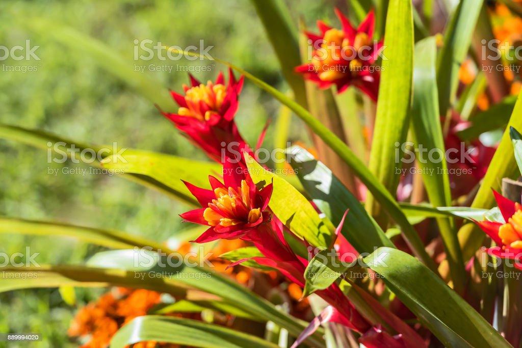 Planta de urna ou Aechmea fasciata. - foto de acervo