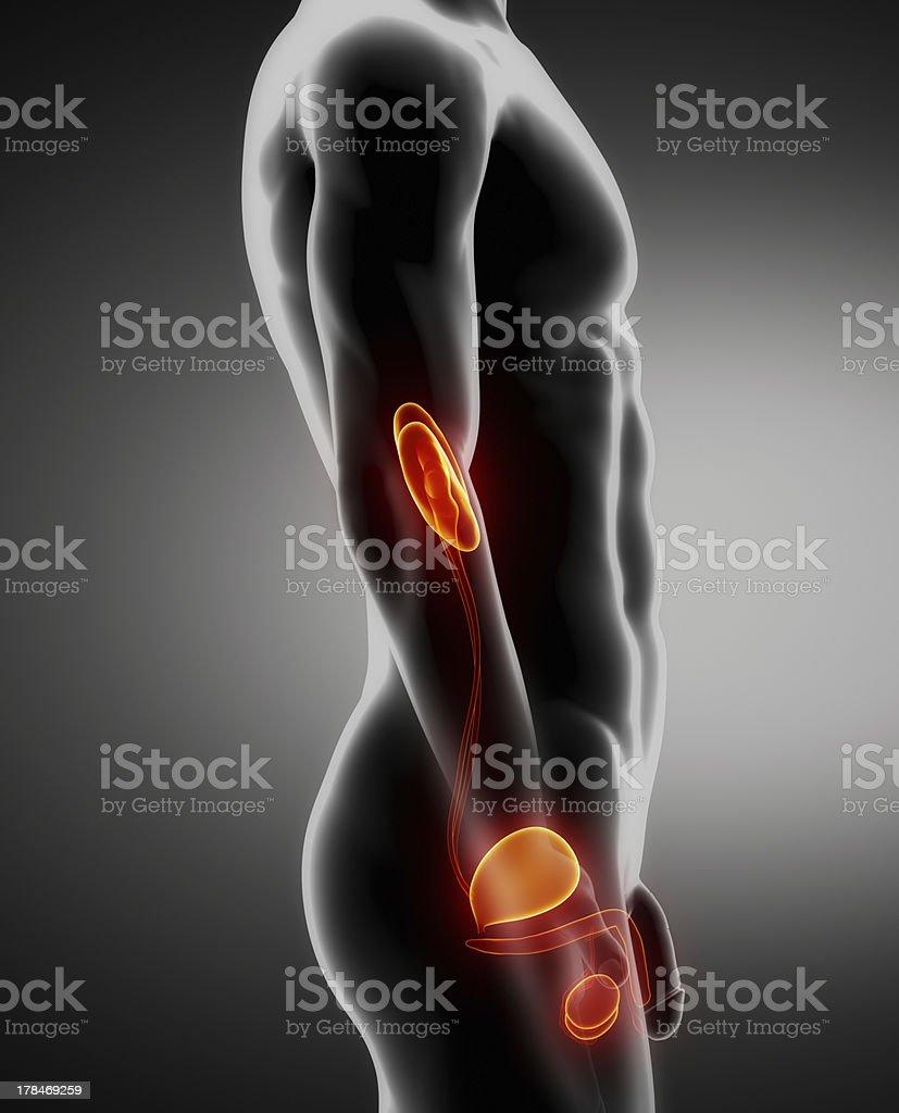 Urogenital male anatomy left view stock photo