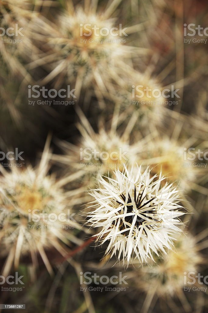 Uropappus lindleyi Silver Puffs Asteraceae stock photo