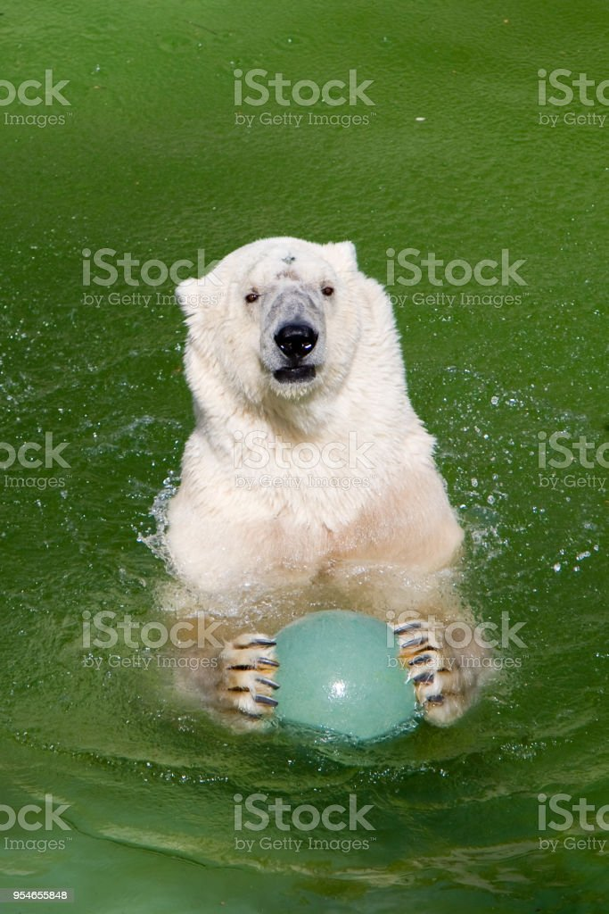 Ursus maritimus - Orso polare - foto stock
