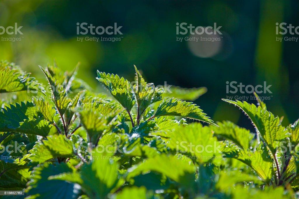 Urtica on sunlight stock photo