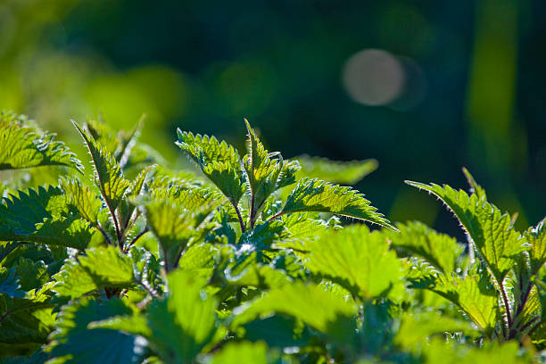 Urtica on sunlight Urtica plants on sunlight.  stinging nettle stock pictures, royalty-free photos & images