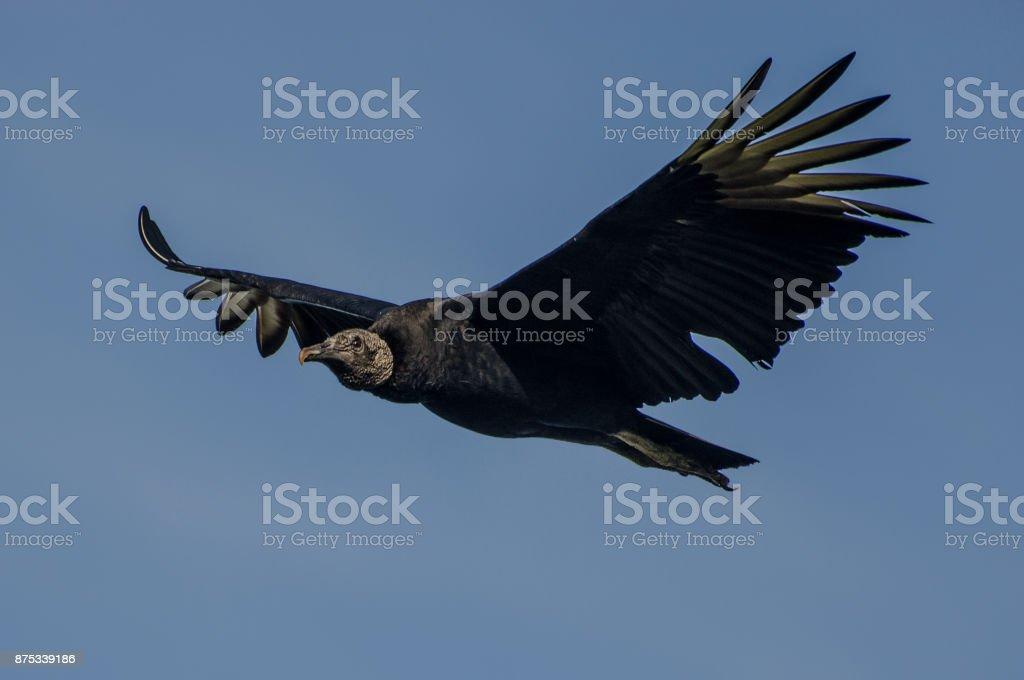 urubu-de-cabeça-preta voando stock photo