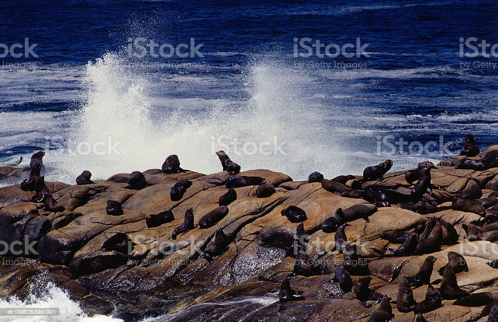 Uruguay, Rocha, Cabo Polonio (Cape Polonio), sea wolves (Otaria flavescens) royalty-free 스톡 사진
