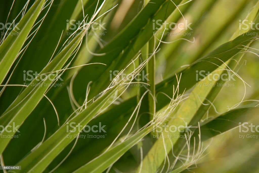 Urwald - Im Palmengarten - Palmenblätter - Spanien foto de stock royalty-free