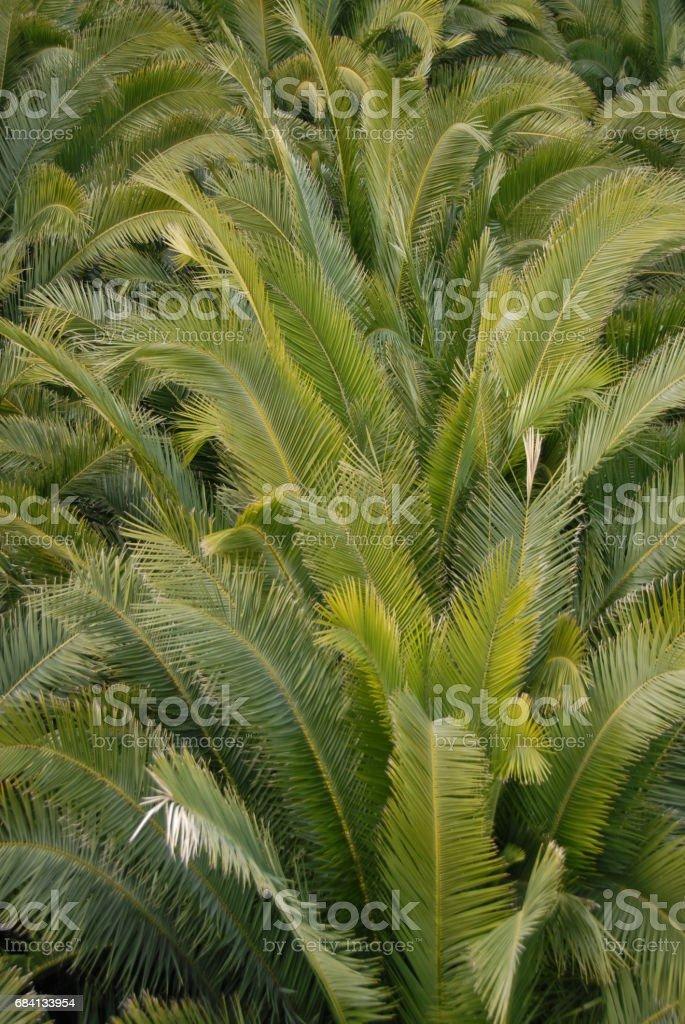 Urwald - Im Palmengarten - Palmenblätter - Spanien royalty free stockfoto