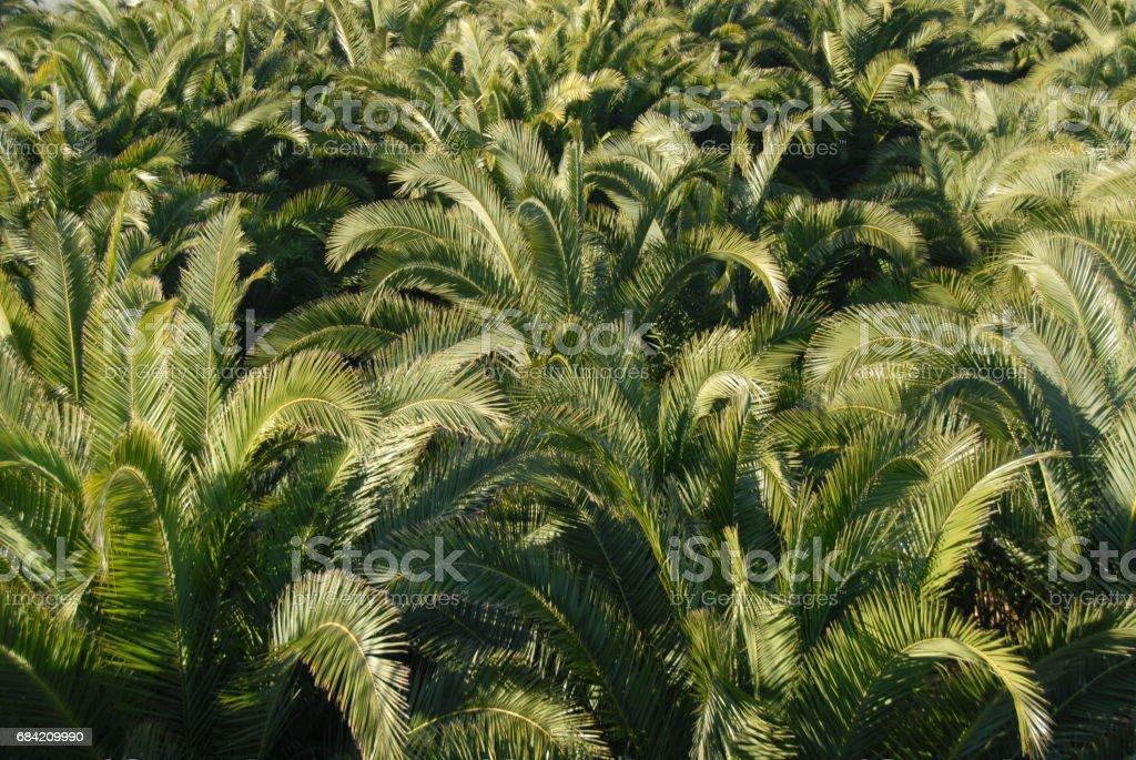Urwald - Im Palmengarten - Palmenblätter - Spanien royalty-free stock photo