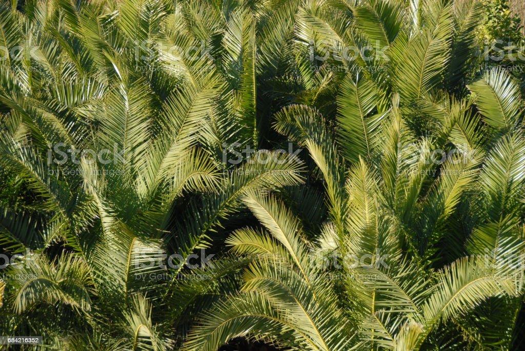 Urwald - Im Palmengarten - Palmenblätter - Spanien 免版稅 stock photo