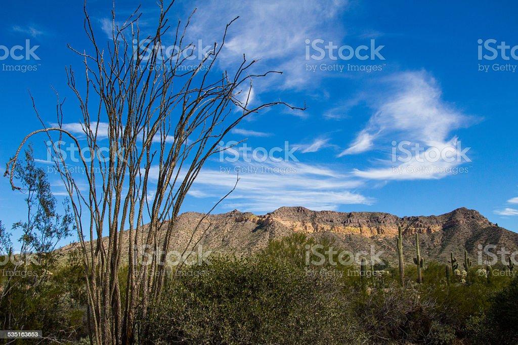 Usery Mountain Ocotillo stock photo
