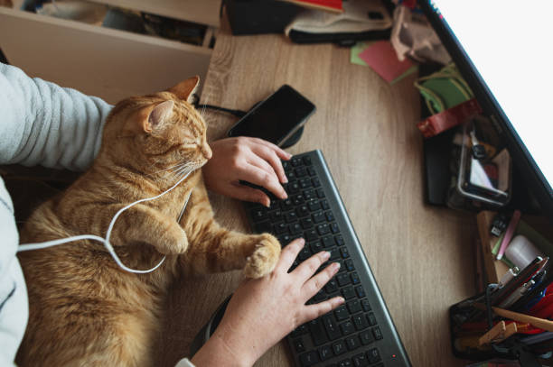 Using a desktop computer with a cat stock photo