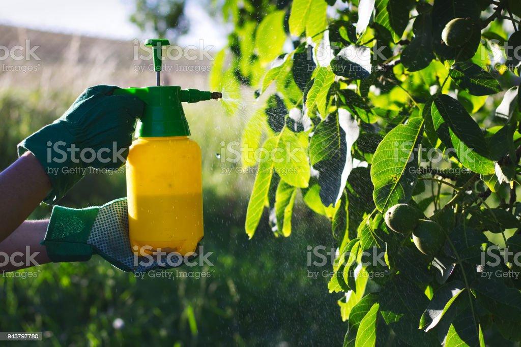 Usando pesticidas contra pragas na árvore de noz - foto de acervo