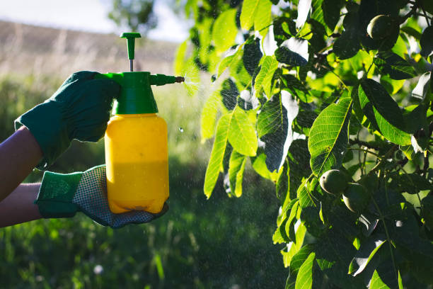 Using pesticide against pests on walnut tree Woman with gloves spraying a leaves of fruit tree against plant diseases. crop sprayer stock pictures, royalty-free photos & images