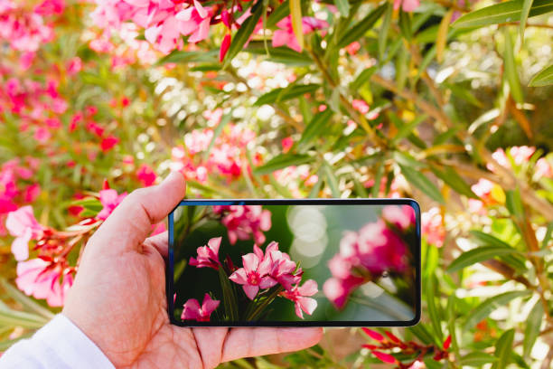 Using smartphone to make a macro photo of rose colored flowers stock photo