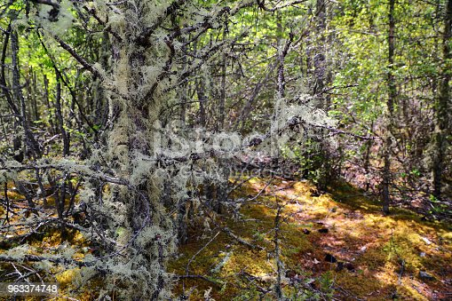 Usnea filamentous (Usnea filipendula) on tree branches in Altai taiga