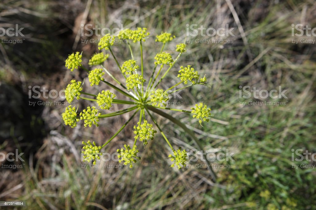 Utah Angelica wheeleri Flower Head Peduncle stock photo