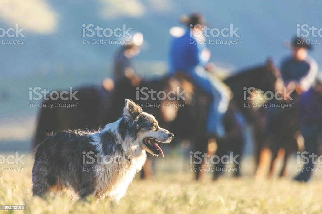 Utah Cow Dogs Western Outdoors and Rodeo Stampede Roundup Riding Horses Herding Livestock stock photo