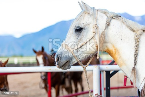 Saddle Bronc Herd Roundup Quarter-Horse Tied to Fence in Utah Cowboys and Cowgirls Western Outdoors and Rodeo Stampede Roundup Riding Horses Herding Livestock iStock Photoshoot Quarter Horse Roping, Riding, Saddle Bronc, Bareback, Bull Riding, Goat Tying, Steer Roping, Team Roping, Branding, Herding, Horse  Red Angus, Black Angus and Longhorn Beef Cattle bulls cows and calves in Eastern Utah high altitude livestock herds in the Rocky Mountains (photos professionally retouched - Lightroom / Photoshop - original size 8688 x 5792 canon 5DS Full Frame Downsampled as needed for clarity)