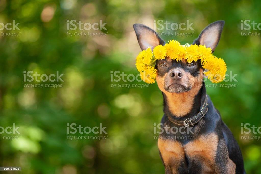 Сute puppy, a dog in a wreath of spring flowers on a natural background of a green forest, a portrait of a dog. Spring Summer theme zbiór zdjęć royalty-free