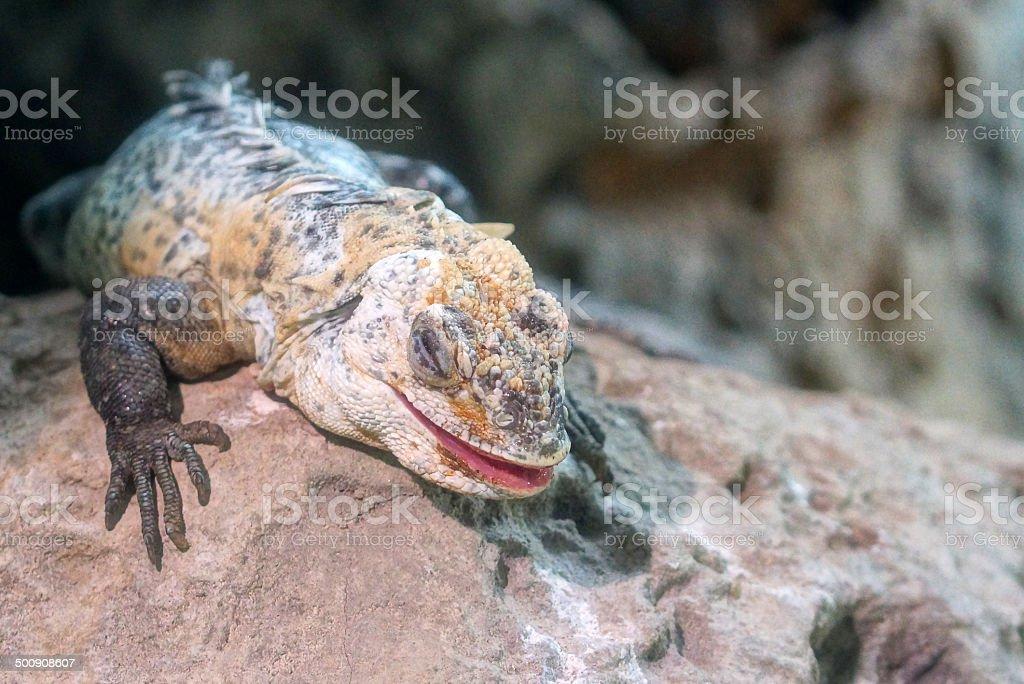 Utila iguana stock photo