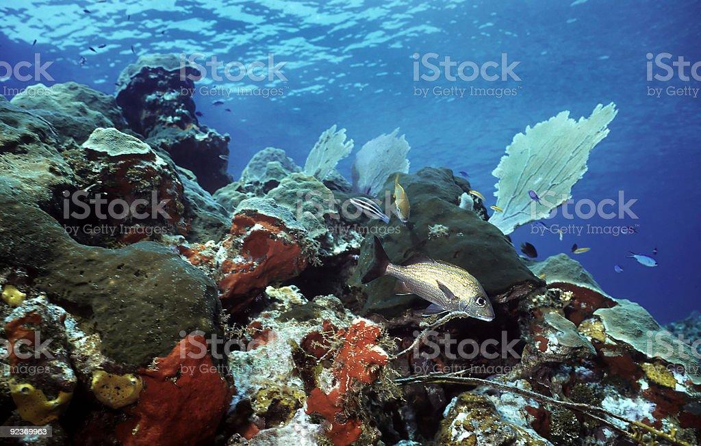 Utila shallow reef royalty-free stock photo
