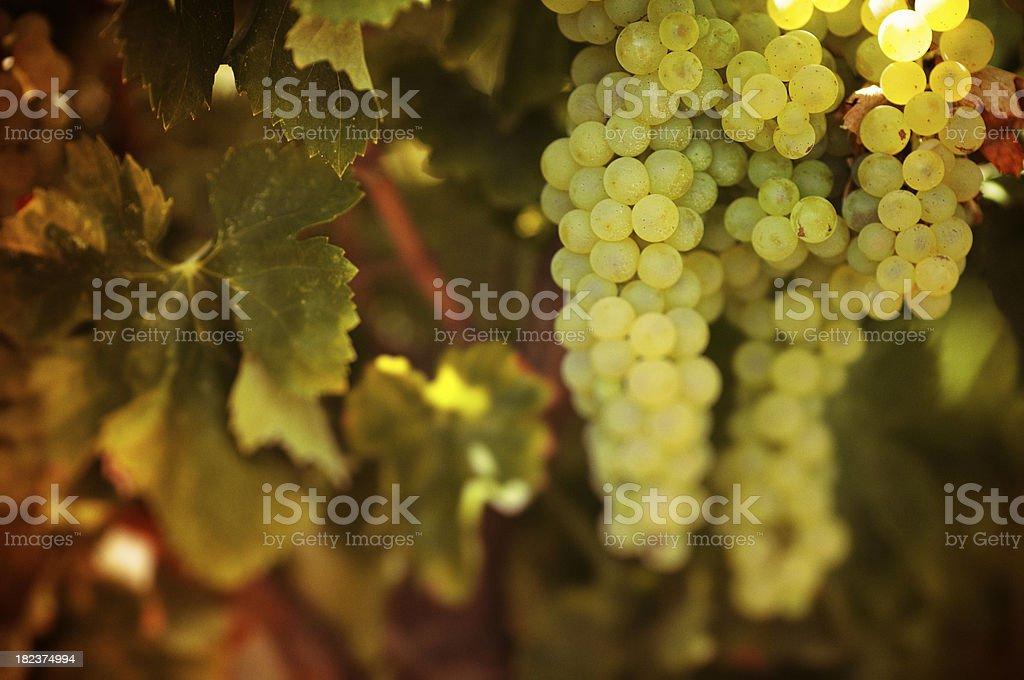Uva bianca stock photo