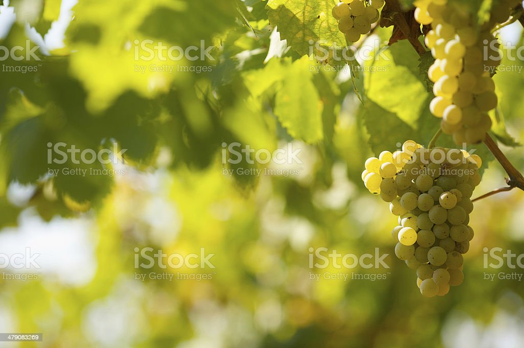 Uva bianca royalty-free stock photo