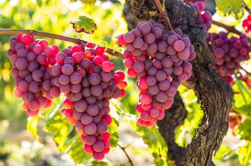 uvas rojas red grape grapes sunny sun bokeh focus